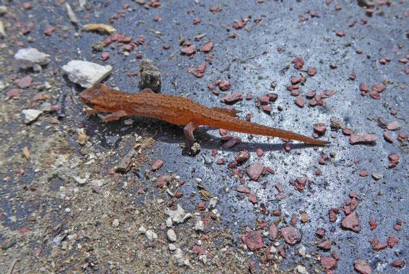 Kleine watersalamander (Lissotriton vulgaris graeca), landfase