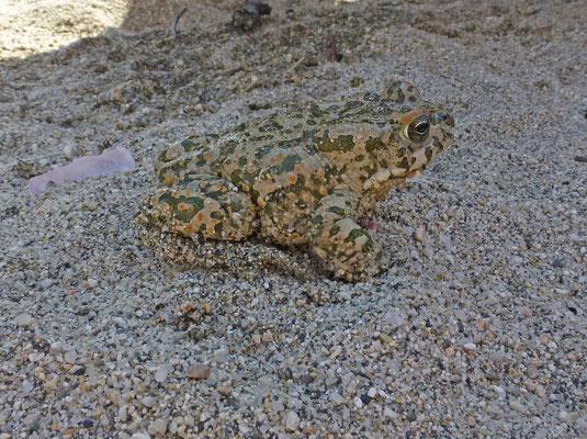 Bufotes viridis balearicus
