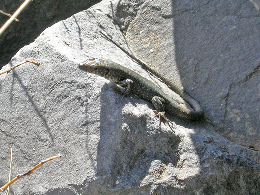 Hellenolacerta graeca (Griekse berghagedis)