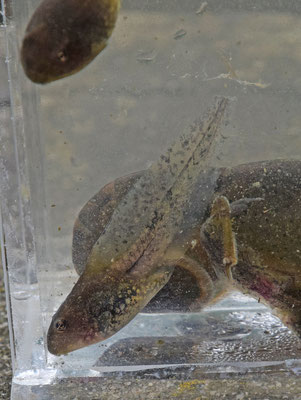 kikkervisje van Meerkikker (Pelophylax ridibunda)