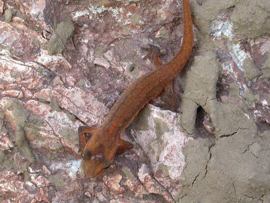 Lissotriton vulgaris graecus (kleine watersalamander)