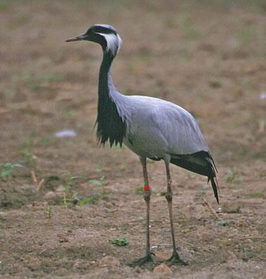 Jufferkraanvogel