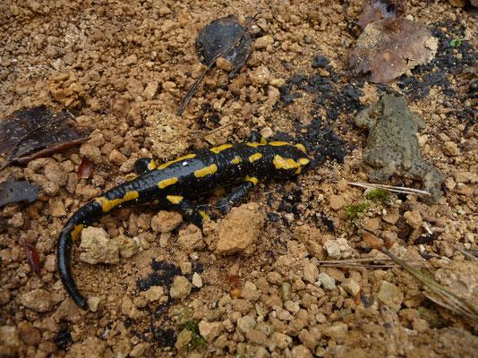 vuursalamander (Salamandra salamandra) en gewone pad (Bufo bufo)