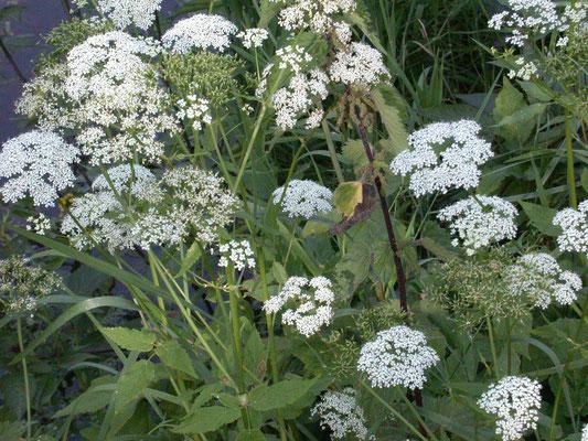 Aegopodium podagraria - Zevenblad