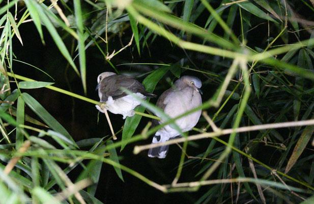 Pale-vented Dove