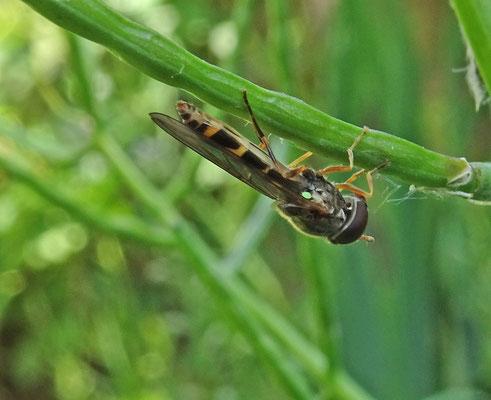 Melanostoma scalare - Slanke driehoekszweefvlieg