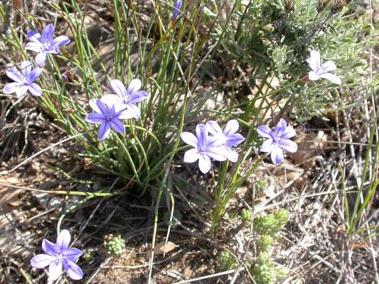 Aphyllanthes monspeliensis - Bieslelie