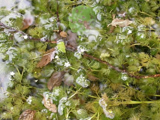 Ranunculus aquatilis - Fijne waterranonkel