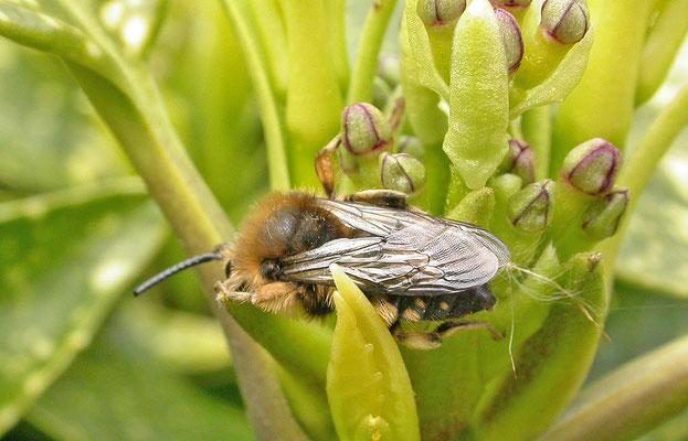 Melecta albifrons - Bruine rouwbij