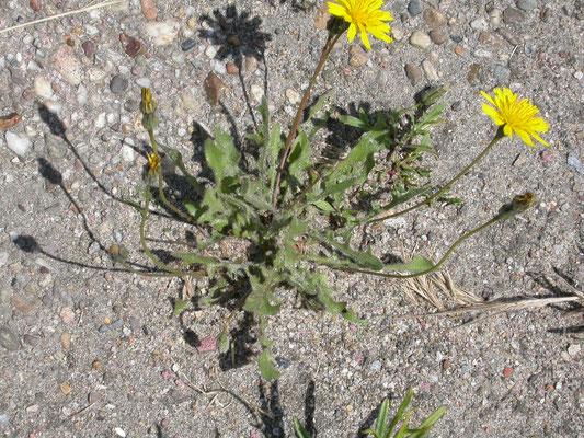 Crepis vesicaria taraxacifolia - Paardebloemstreepzaad