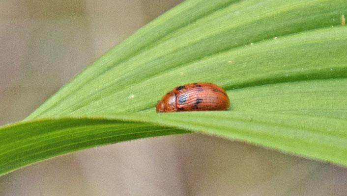 Gonioctena quinquepunctata - Vijfstippelig struikhaantje