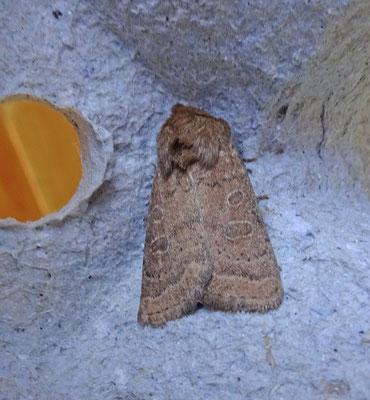 Hoplodrina octogenaria - Gewone stofuil