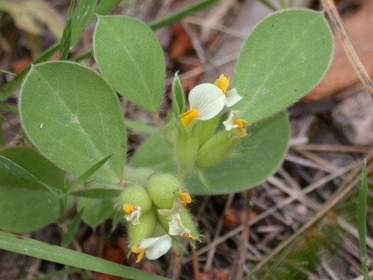 Anthyllis tetraphylla - Blaaswondklaver
