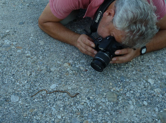 Ruud fotografeert Peloponnesoshazelworm (Anguis cephalonicus)