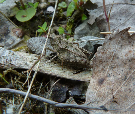 Tetrix tenuicornis - Kalkdoorntje