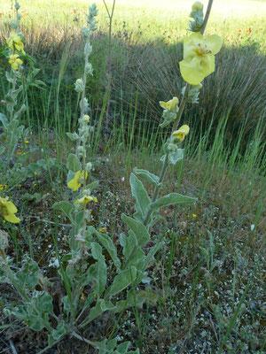 Verbascum undulatum - Golfbladige toorts