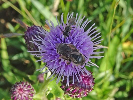 Lasioglossum spec- groefbij