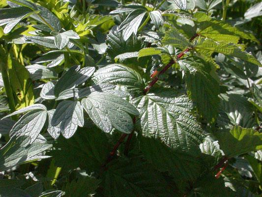 Filipendula ulmaria - Moerasspiraea