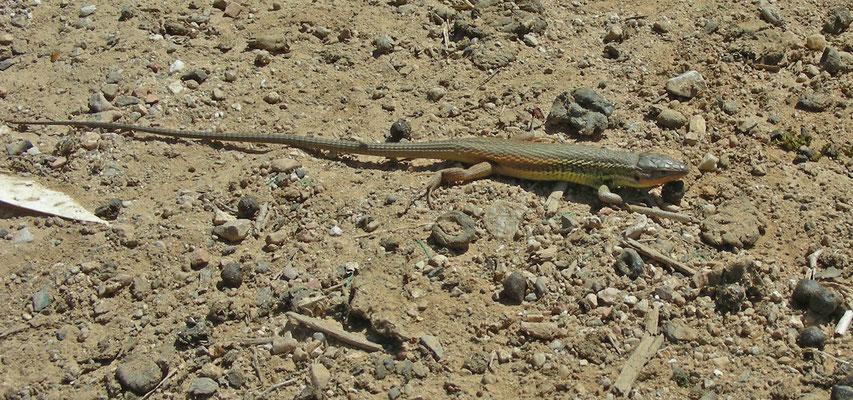 Psammodromus algirus - Algerijnse zandloper