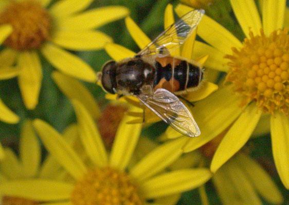 Eristalis arbustorum- Kleine bijvlieg