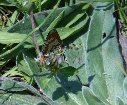 Melitaea didyma - tweekleurige parelmoervlinder