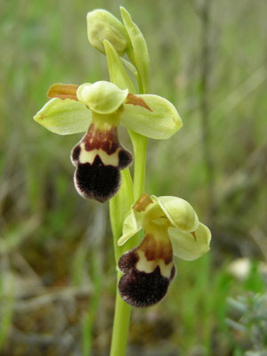 Ophrys fusca (bruine ophrys)