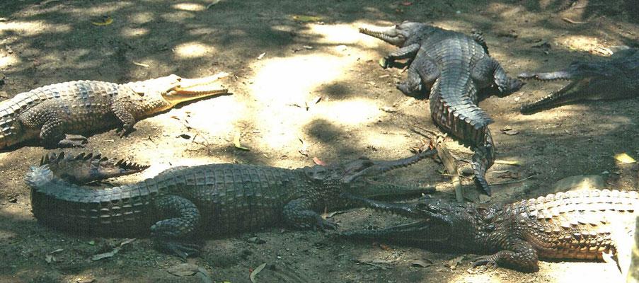 zoetwaterkrokodillen in Hartley's Creek Wildlife Reserve (Crocodile Farm)