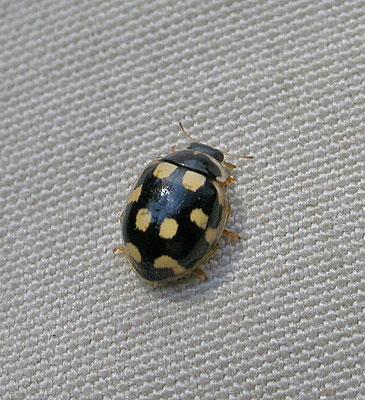 Coccinula quatuordecimpustulata - Veertienvleklieveheersbeestje