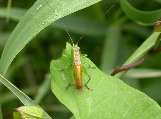 Conocephalus dorsalis - Gewoon spitskopje