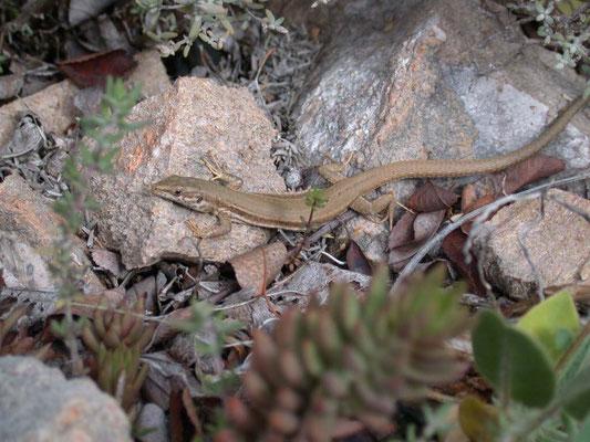 Podarcis liolepis - Catalonische muurhagedis