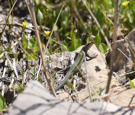 Phoenicolacerta laevis