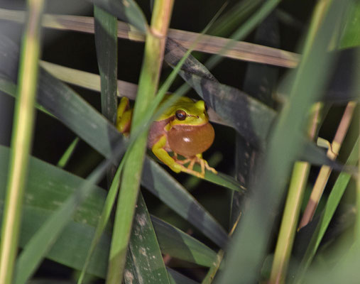 Lemon-yellow treefrog (Hyla savignyi)