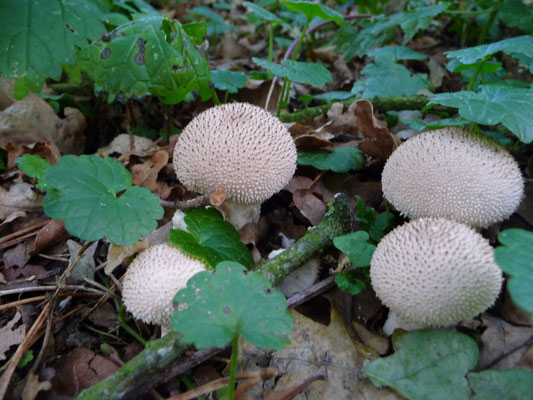 Lycoperdon perlatum - Parelstuifzwam
