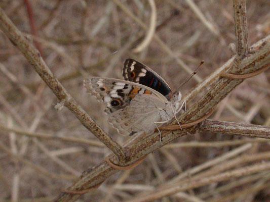 Junonia orythia madagascariensis