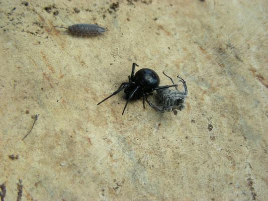 Steatodea paykulleana (valse weduwe)