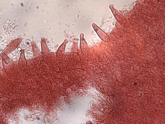 Strobilurus esculentus - Sparrenkegelzwam