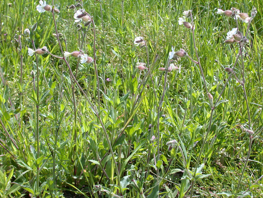 Silene latifolia - Avondkoekoeksbloem