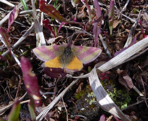 Zuringspanner (Lythria cruentaria)