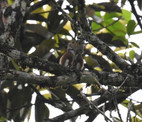 Amazonian Pygmee-Owl