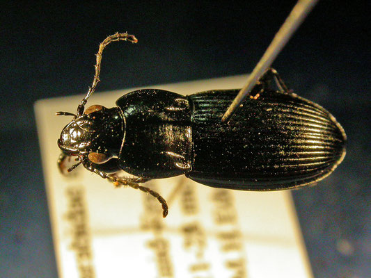 Pterostichus melas