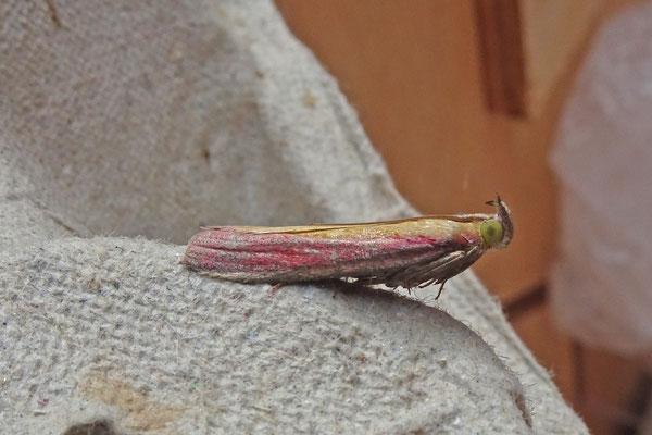 Oncocera semirubella - Prachtmot