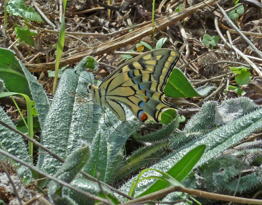 Koninginnepage (Papillio machaon)