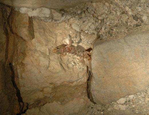 Cyrtopodion kotschyi (Egeïsche naaktvingergekko)