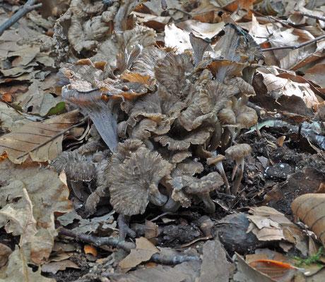 Pseudocraterellus undulatus - Kleine trompetzwam