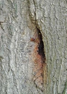 Nest Hoornaars