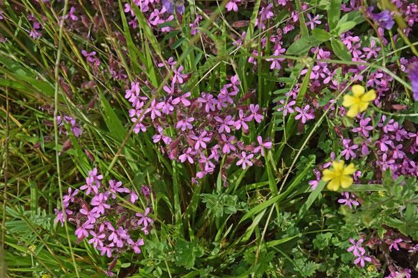 Rotszeepkruid (Saponaria ocymoides)