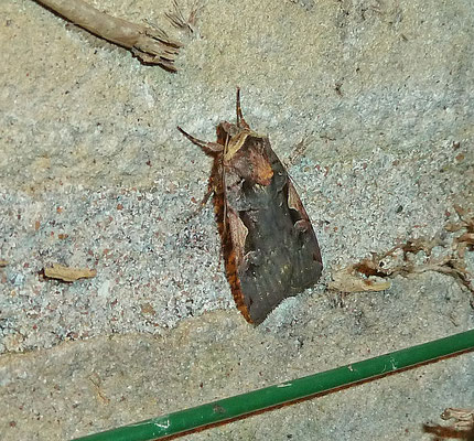 Orthosia gothica - Nunvlinder