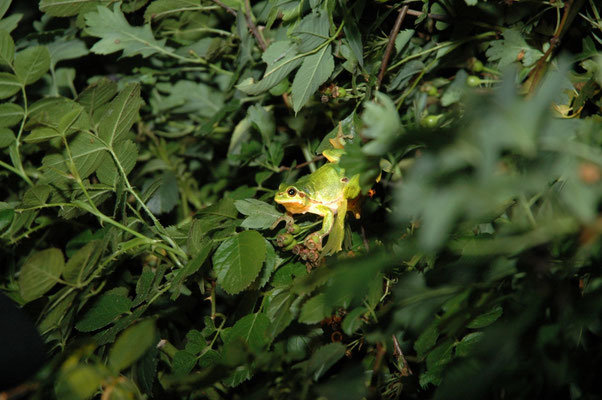 boomkikker (Hyla arborea)