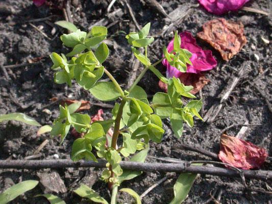 Euphorbia peplus - Tuinwolfsmelk