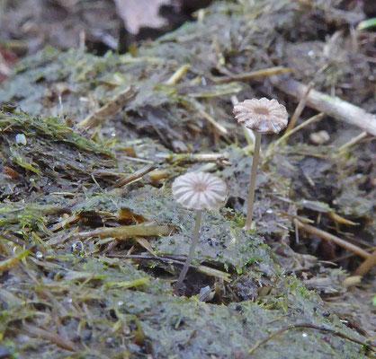 Parasola misera - Klein mestplooirokje